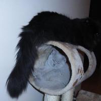 kudłaty kot na drapaku