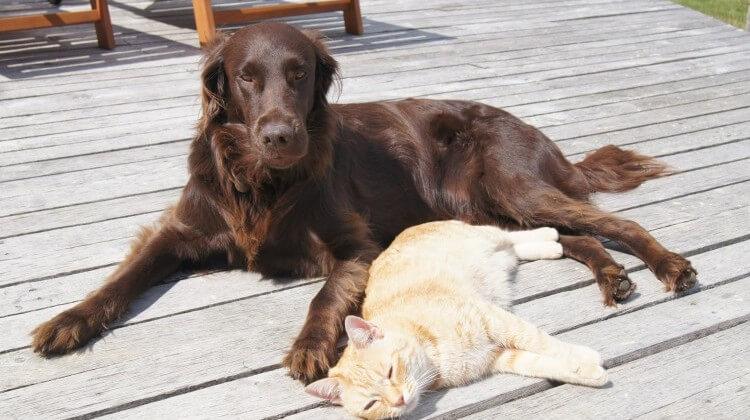 czipowanie psów i kotów