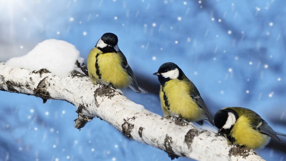 ptaki w zime