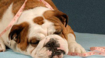 otyły pies