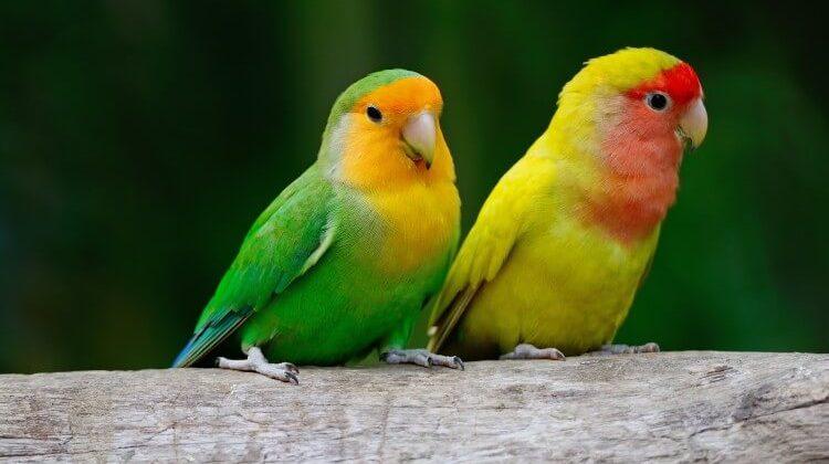 płeć ptaków