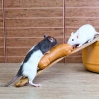Wyprawka dlaszczura