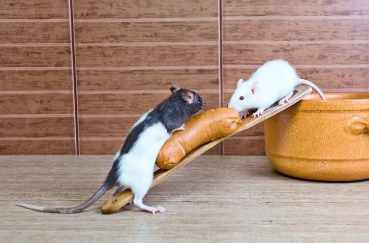 wyprawka dla szczura
