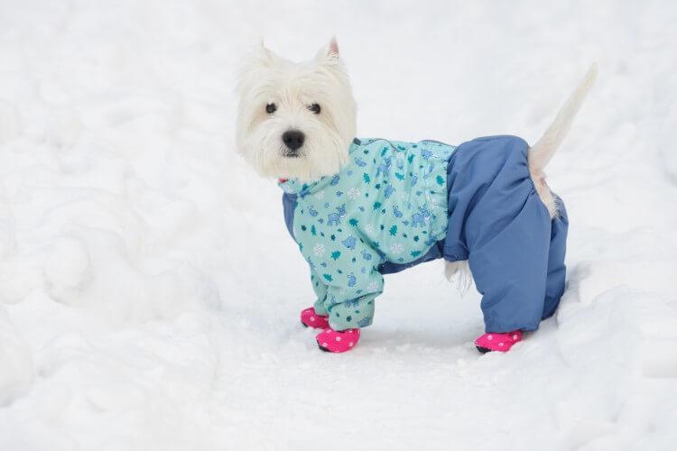 pies w butach