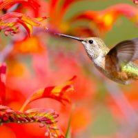 Kolibry – niezwykłe ptaszki