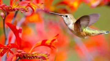 koliber najmniejszy ptak