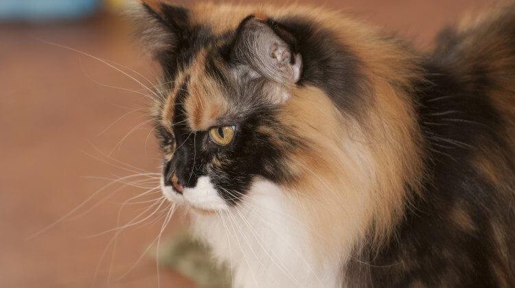 kule włosowe u kotów